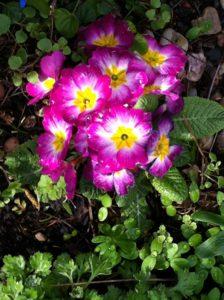 Jarní petrklíče